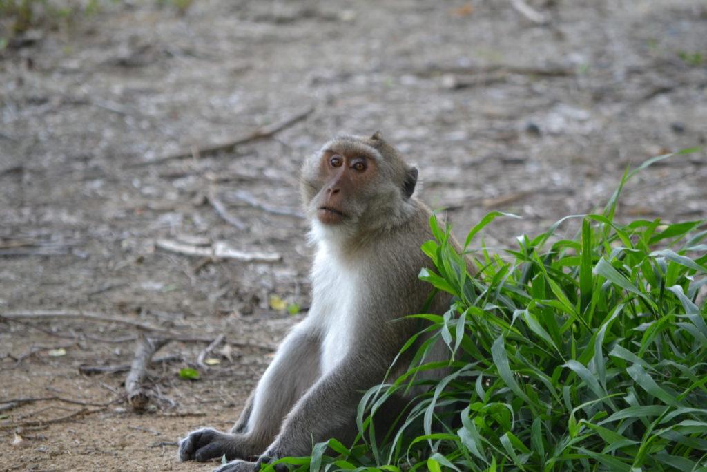 Macaque - Khao Daeng viewpoint - Thailand