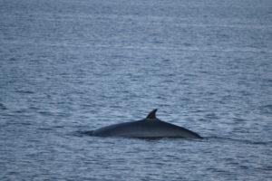 Rorqual sur le fleuve Saint-Laurent - baleines